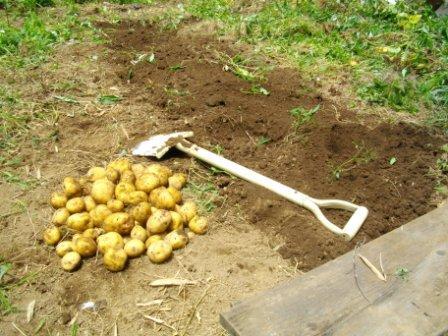Potato_Kita-akari